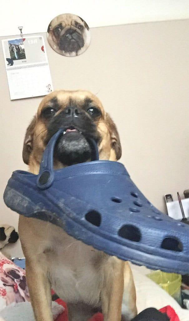 Whenever I Come In My House From Being Away For Some Time, My Dog Always Brings Me Something. Today It Was A Croc